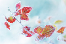 The Frost On The Leaves. - Sha...