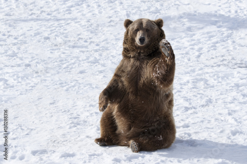 Obraz na plátně Waving brown bear (Ursus arctos) sitting in winter snow, Bozeman, Montana