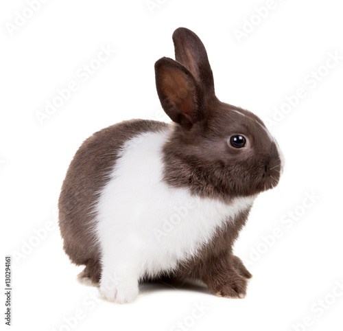 Fotografie, Obraz  The two-color rabbit isolated on white background