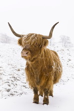 Highland Cow In Winter Snow, Yorkshire Dales, Yorkshire