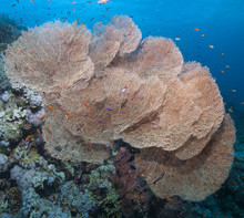 Close-up Of Giant Sea Fan Cora...