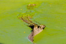 Tail Of Crocodile Disappearing Into Green Algae Water, Western Cape