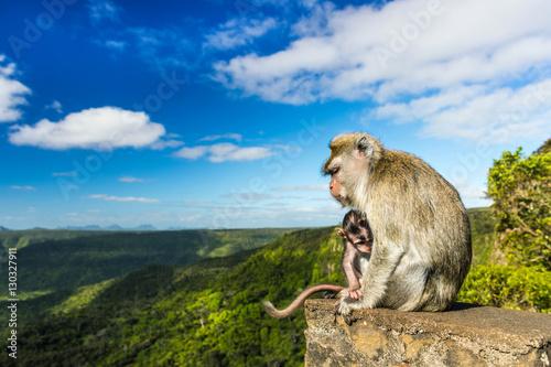 Cadres-photo bureau Singe Monkeys at the Gorges viewpoint. Mauritius.