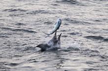 Blue Marlin (Makaira Nigricans) Hunting Dorado (Coryphaena Hippurus), Congo