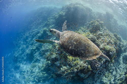The critically endangered hawksbill turtle (Eretmochelys imbricata) above coral reef, Ras Mohammed National Park, off Sharm el-Sheikh, Sinai, Red Sea, Egypt, North Africa, Africa