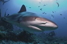 Close Up Of Caribbean Reef Shark (Carcharhinus Perezii) Swimming With A Diver, Roatan, Bay Islands, Honduras