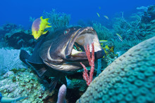 Black Grouper (Mycteroperca Bonaci) At Cleaning Station, Roatan, Bay Islands, Honduras