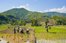 Lahu Tribe People Planting Rice In Rice Paddy Fields, Chiang Rai