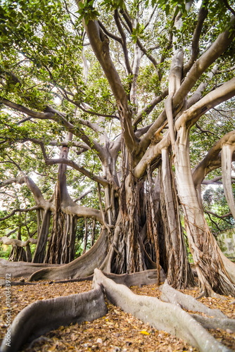 Large twisted roots of a Moreton Bay fig tree (banyan tree) (Ficus