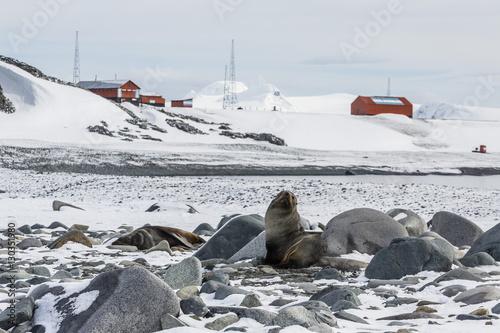 Staande foto Antarctica Adult Antarctic fur seals (Arctocephalus gazella), Half Moon Island, South Shetland Islands, Antarctica, Southern Ocean, Polar Regions