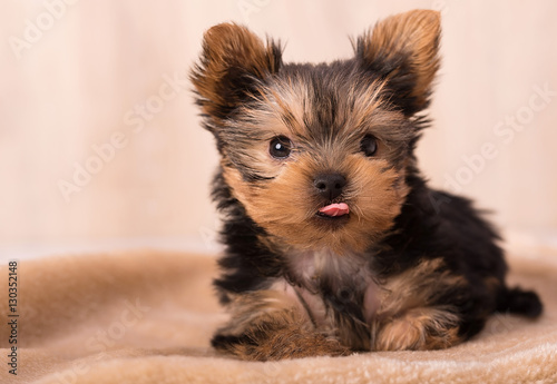 Fototapeta Beautiful puppy Yorkshire Terrier posing