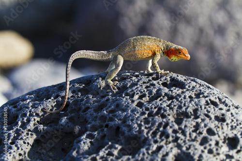 Female lava lizard (Microlophus spp), Las Bachas, Santa Cruz Island, Galapagos I Poster