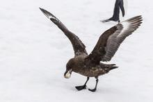 Adult Antarctic Skua (Catharacta Spp) Steals A Penguin Egg From Its Parent, Aitcho Island, South Shetland Islands, Antarctica, Southern Ocean