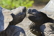 Wild Galapagos Tortoise (Geochelone Elephantopus), Urbina Bay, Isabela Island, Galapagos Islands, Ecuador