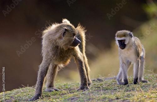 Olive Baboon glaring at Vervet Monkey (Green Monkey), Grumeti, Tanzania Poster