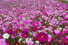 Colorful Cosmos Flower Field In Japan, Beautiful Garden For Background And Textured