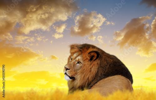 Zdjęcie XXL Duży męski lew na sawannie przy zmierzchem.