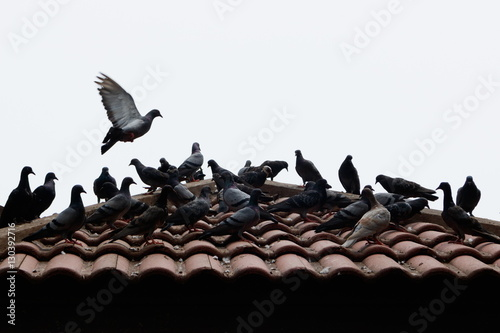 Grey pigeons stay on tile roof and some pigeon are flying