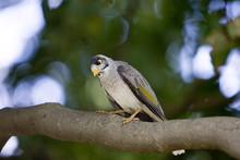 Noisy Mynah Bird, Royal Botanical Gardens