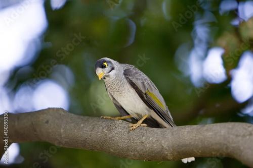 Poster Vogel Noisy Mynah bird, Royal Botanical Gardens, Australia