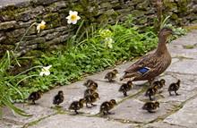 Mallard Duck With Her Twelve Ducklings In An English Country Garden