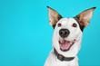 Funny Andalusian ratonero dog on blue background, close up