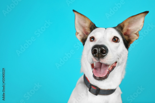 Poster Chien Funny Andalusian ratonero dog on blue background, close up