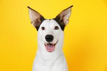 Funny Andalusian Ratonero Dog ...