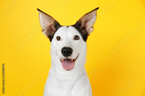 Funny Andalusian ratonero dog on yellow background