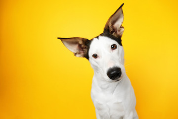 FototapetaFunny Andalusian ratonero dog on yellow background