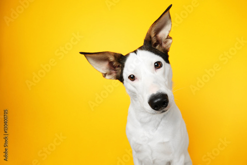 Spoed Foto op Canvas Hond Funny Andalusian ratonero dog on yellow background