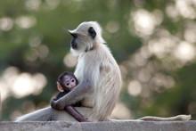 Indian Langur Monkeys, Presbytis Entellus, Female And Baby In Ranthambore National Park, Rajasthan