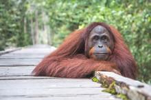 Portrait Of A Semi-wild Orangu...