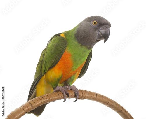 Fond de hotte en verre imprimé Perroquets senegal parrot in studio