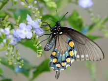 Pipevine Swallowtail Butterfly...