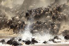 Wildebeests Crossing Mara River, Masai Mara