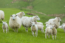 Flock Of Sheep Ewes And Lambs In The Brecon Beacons In Wales