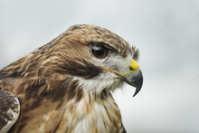 Red Tailed Hawk, An American Raptor, Bird Of Prey