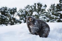 Black Bear (Ursus Americanus), Montana