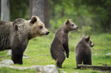 Brown Bear Cubs And Adult (Urs...