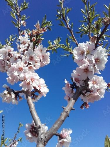 Photo  Almendro en flor