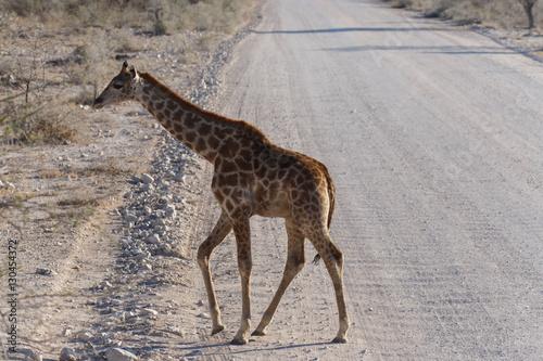 Baby Giraffe - Etosha Safari Park in Namibia Poster