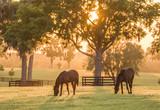 Fototapeta Konie - Thoroughbred yearlings in pasture at sunset
