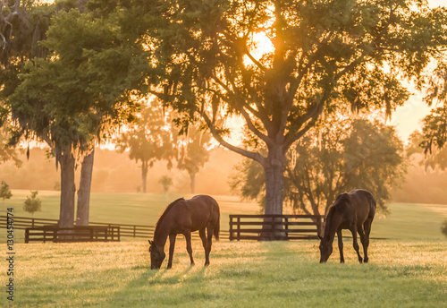 Thoroughbred yearlings in pasture at sunset