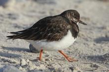 Ruddy Turnstone On Sandy Beach...