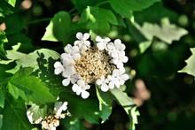 White Flower Viburnum Opulus