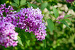 A branch of purple lilac.