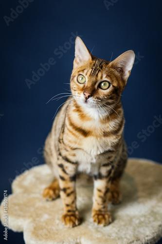 Plakat bengalski kot kotek brązowy nakrapiany