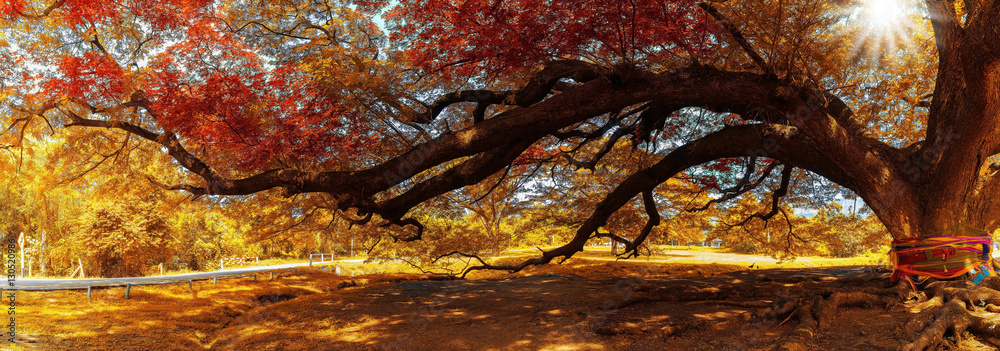 Panoramic image of The branches of The Hundred Years Giant  Samanea or Albizia saman in Kanchanaburi, Thailand
