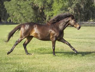 Thoroughbred stallion gallops across green grass paddock